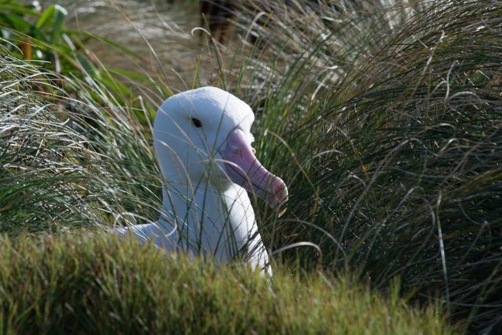 An Royal Albatross on Campbell Island