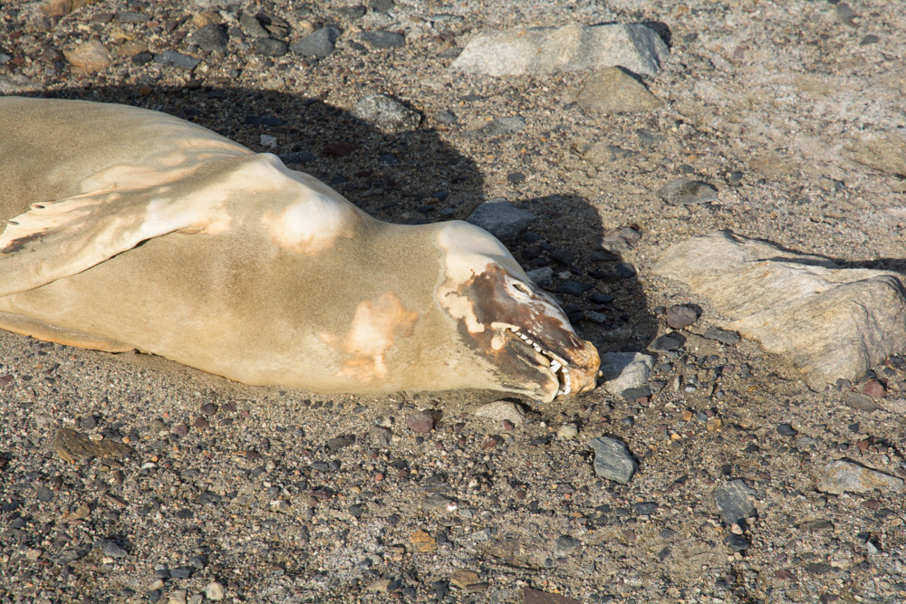 Mummified seal that crawled the wrong way with the Taylor Valley, McMurdo Dry Valleys
