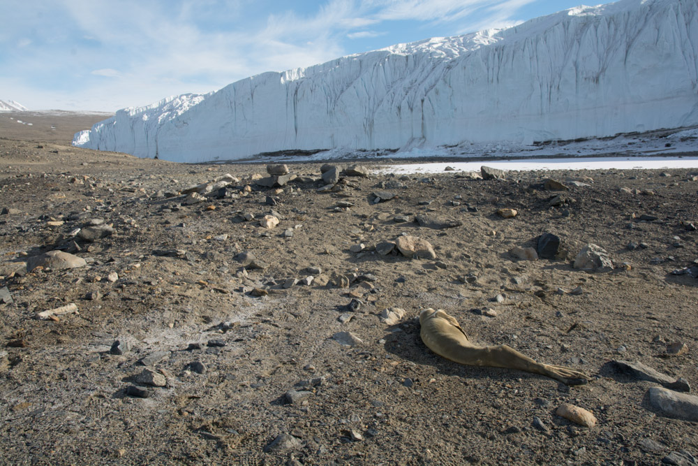 Mummified seal that crawled the wrong way with the Canada Glacier, Taylor Valley, McMurdo Dry Valleys