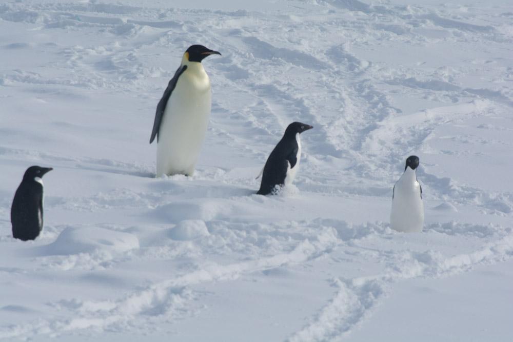Emperor Penguin with 3 Adelies