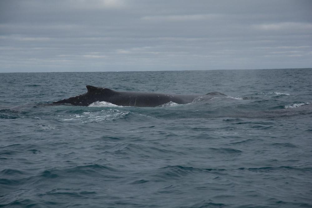 Humback at Peter 1 Island
