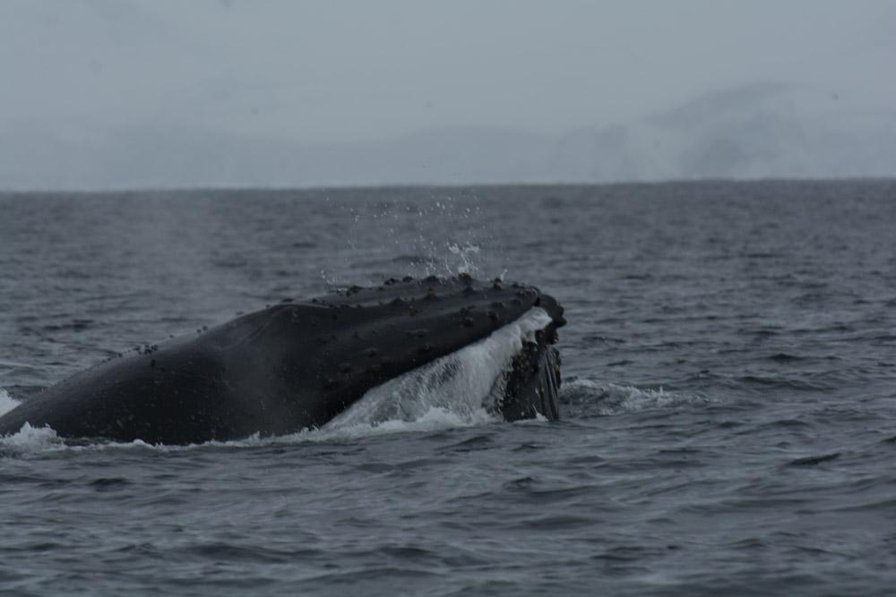 Humpback lunge feeding