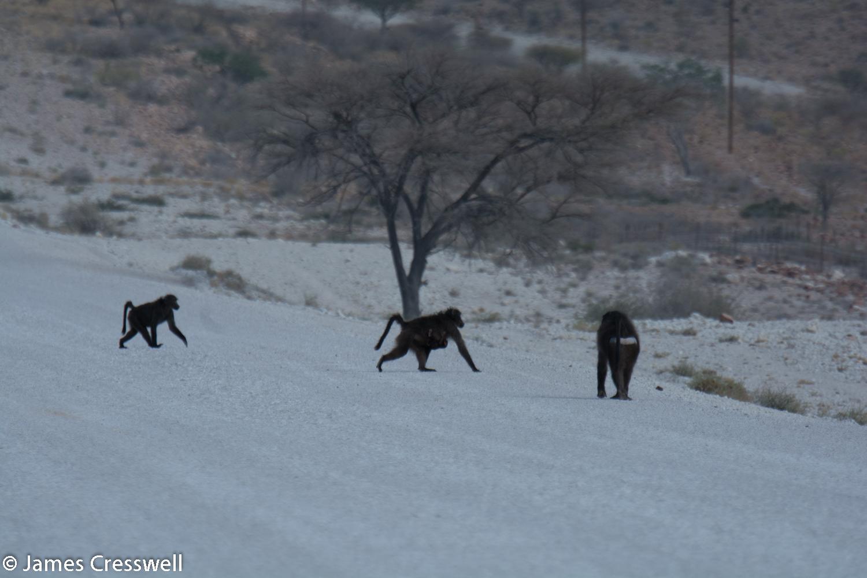 Baboons at Bullsport