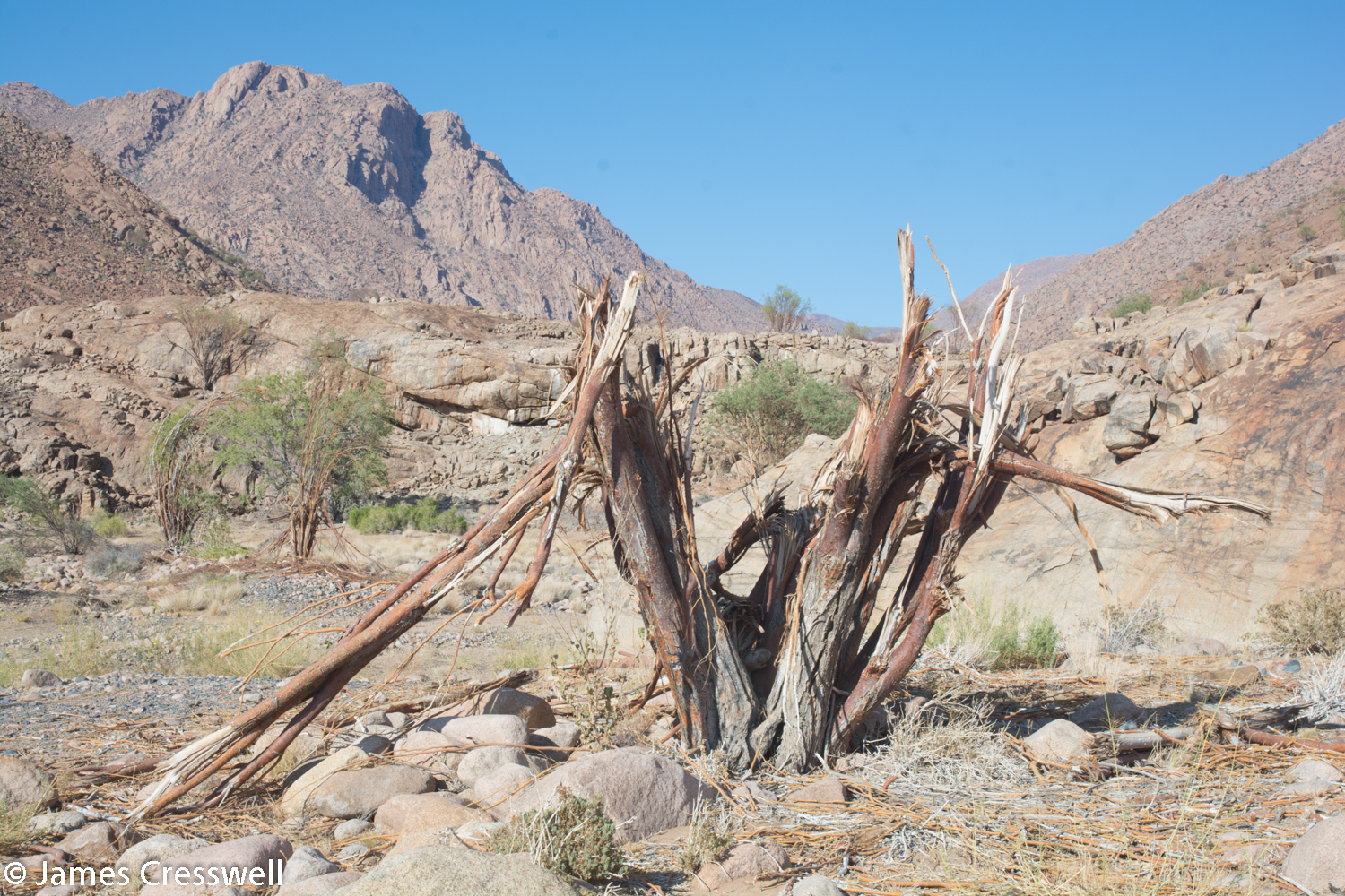 A tree damaged by Nambia's famous Desert Elephants, Brandberg, Namibia.