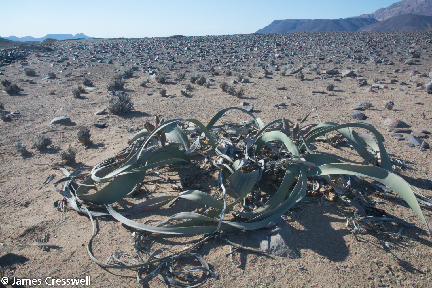 The national emblem plant of Namibia: Welwitschia. This amazing desert plant can capture moisture from coastal for and can live to over 2000 years old.