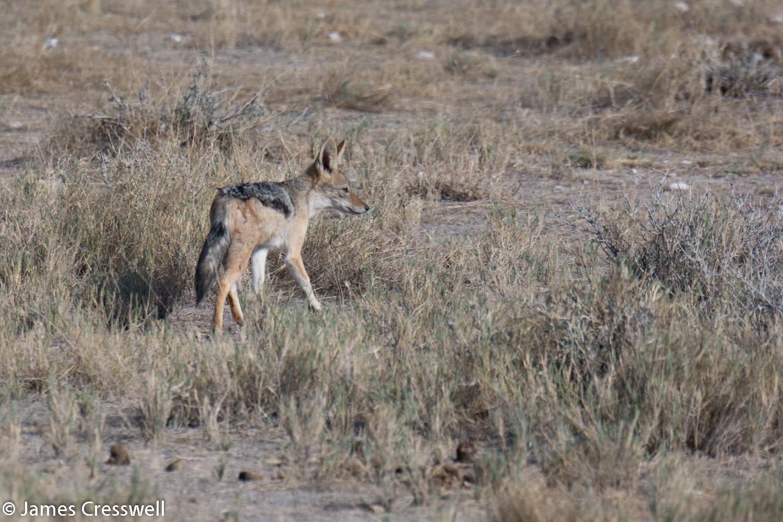 Jackal, Etosha National Park, Namibia.