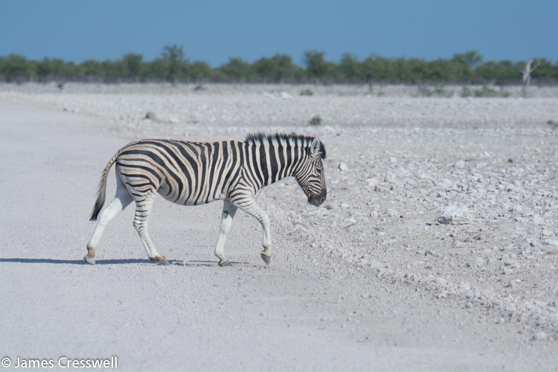 A Zebra crossing, Etosha National Park, Namibia.