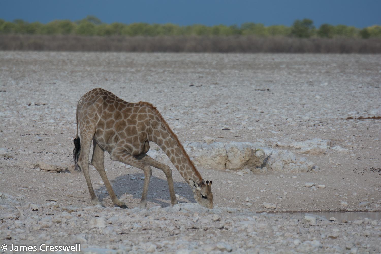 Angolan Giraffe, Etosha National Park, Namibia.