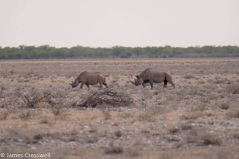 Black Rhino, Etosha National Park, Namibia.