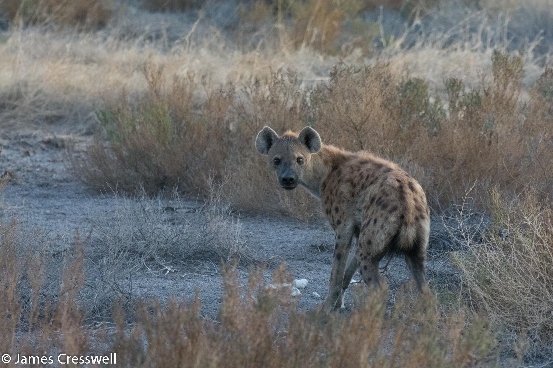 Spotted hyena, Etosha National Park, Namibia.