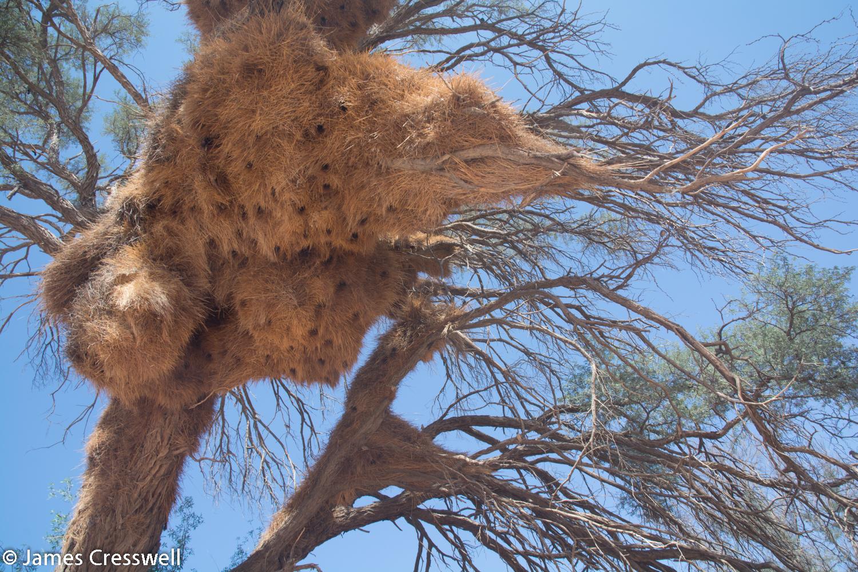 Weaver bird nest in Namibia