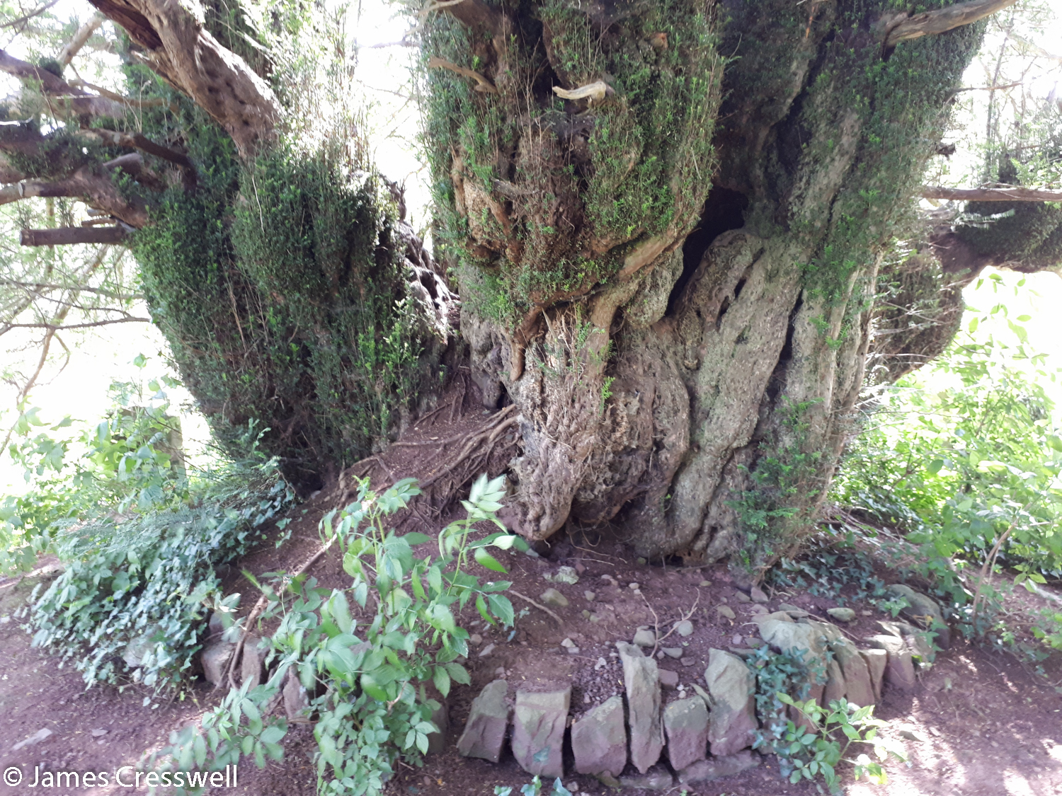 Oldest tree in Europe