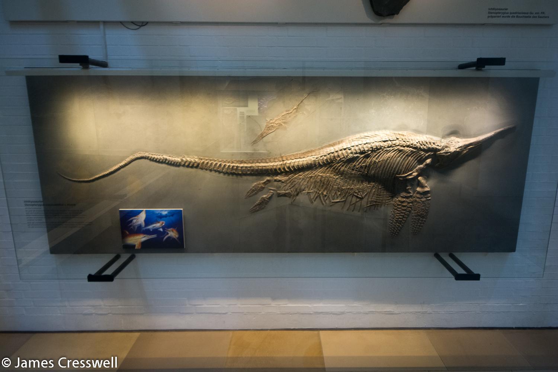 Pregnant ichthyosaur fossil