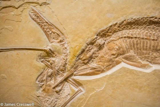 Fossilised fish eating a pterosaur