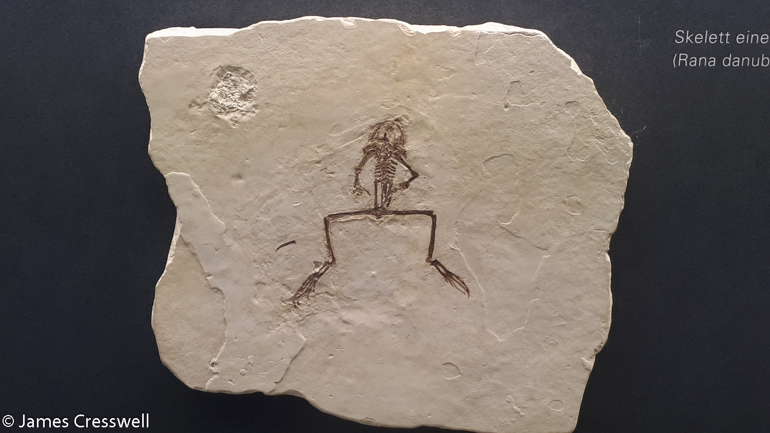 A frog fossil