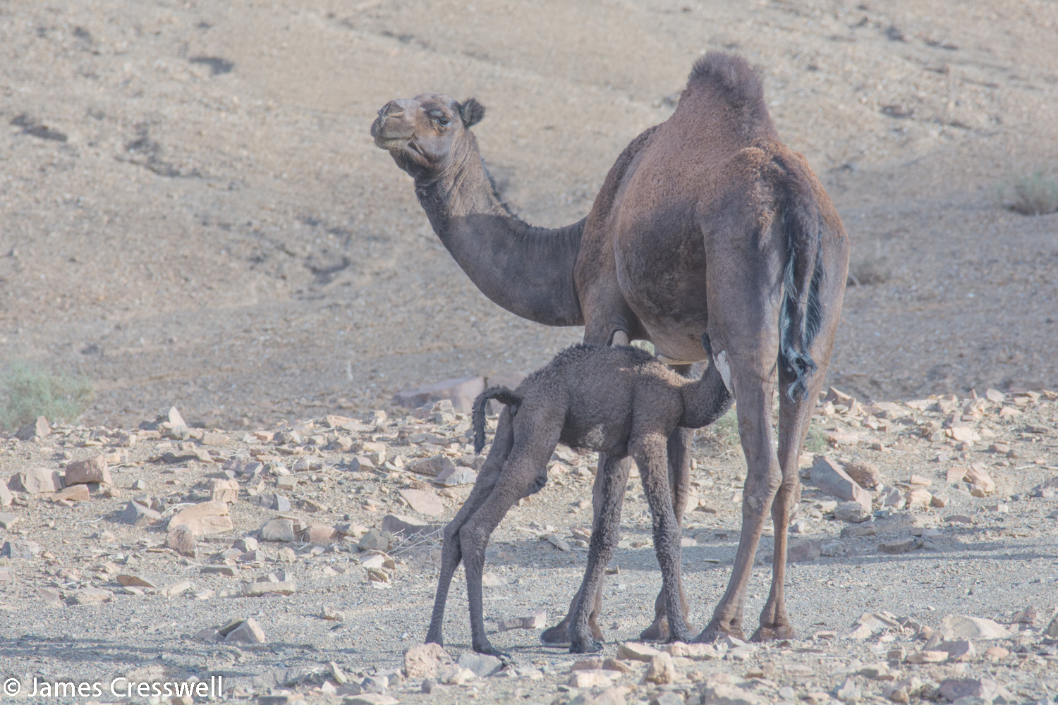 Mother and baby camel