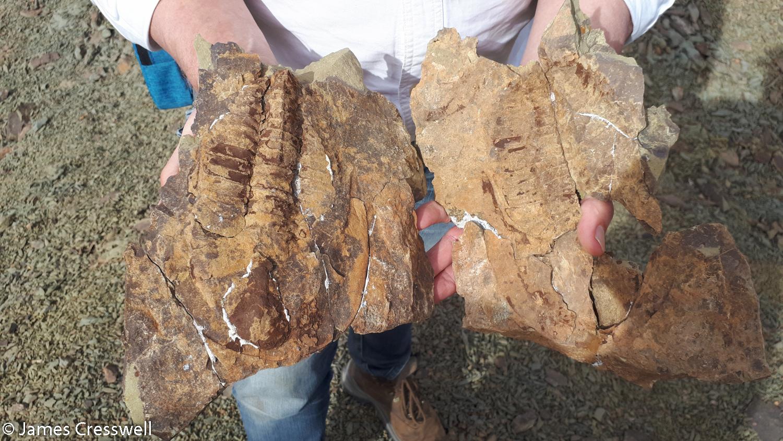 A trilobite
