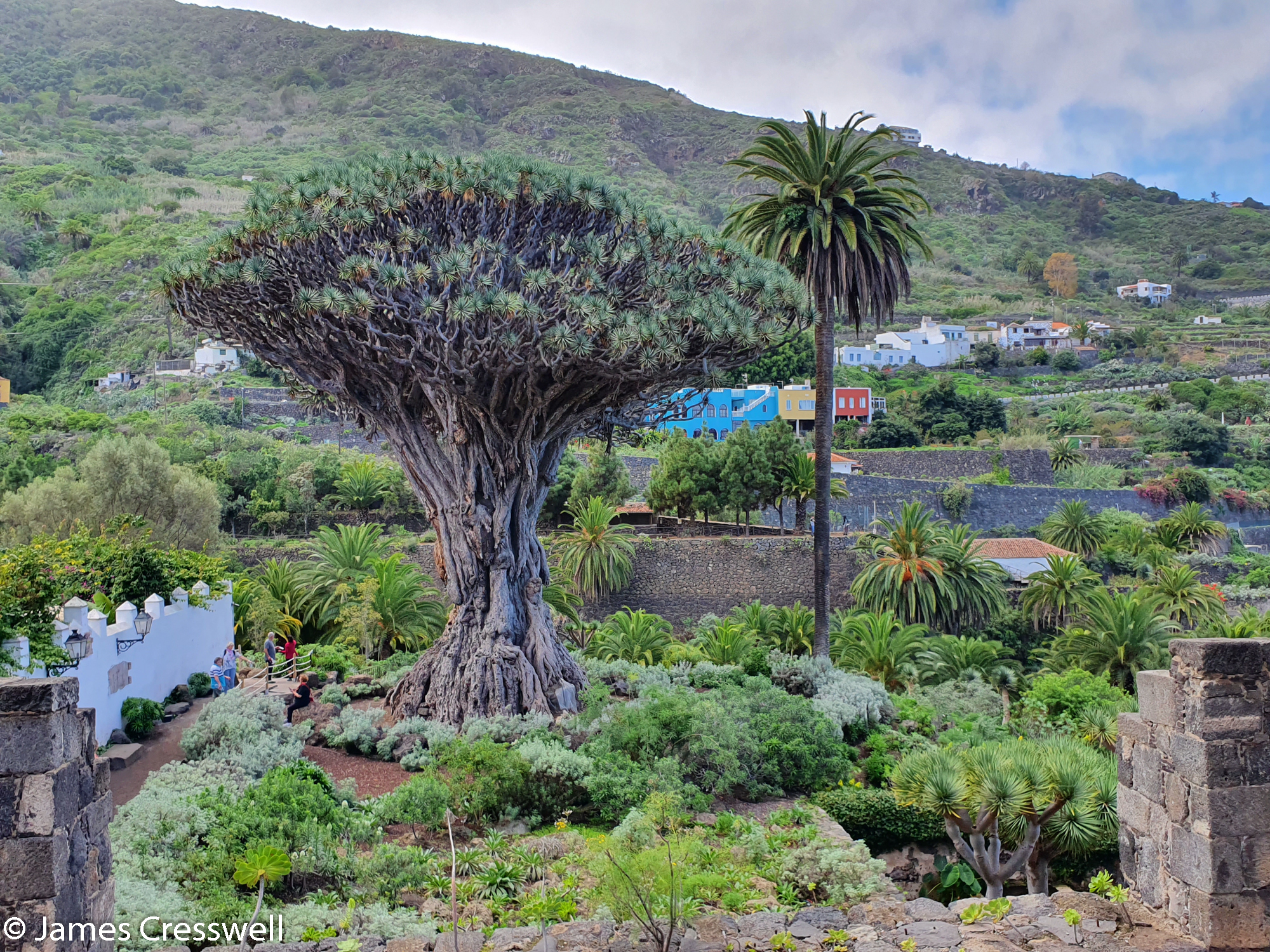 Dragon tree in park