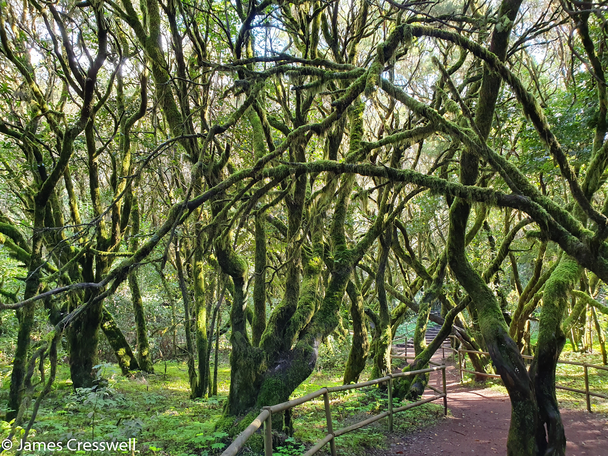 Trees with lichen and moss with a path through