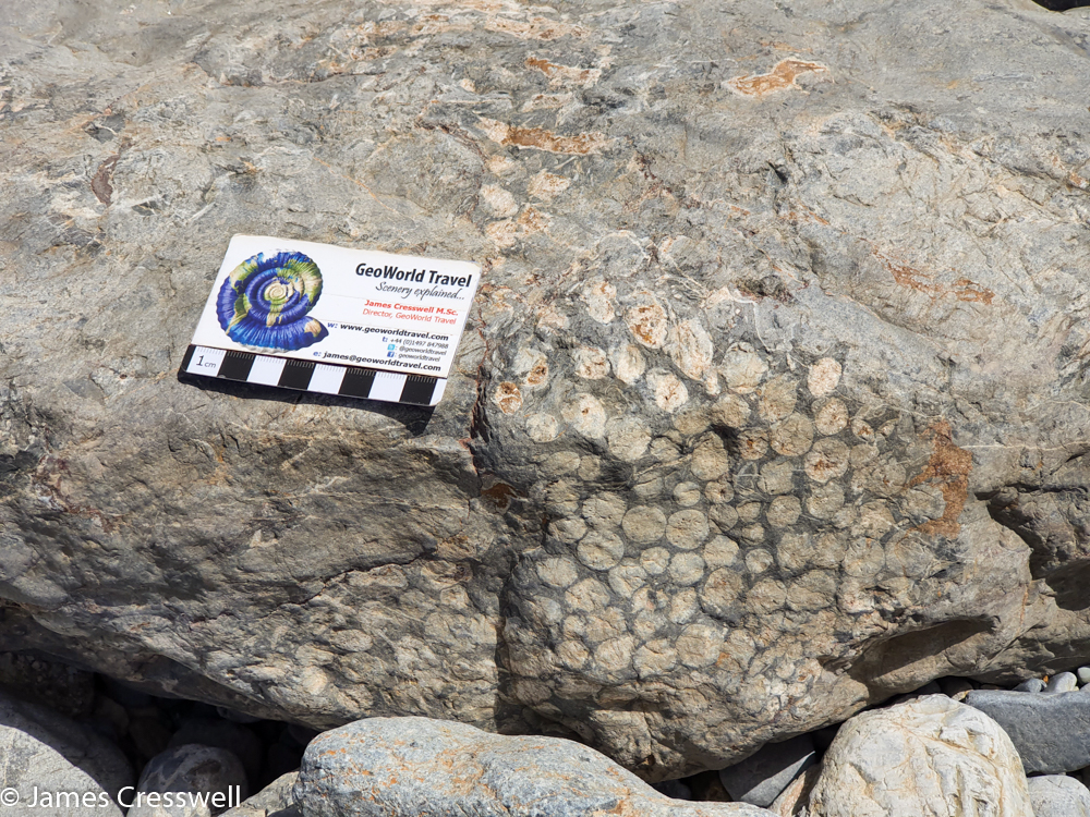 A photograph of a fossil corals in rock, with a scale card
